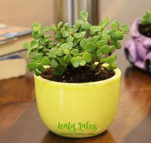 Potted Plants for desk wedding gift ideas