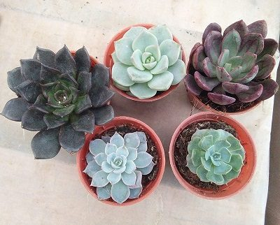 CAPPL-Succulents-Echieveria-mother's-day-gift-idea