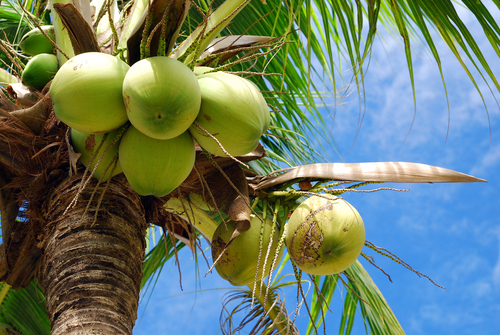coconut water internal 2