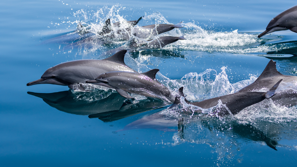 Several dolphins jumping out of the water and diving back into the blue ocean of Raja Ampat