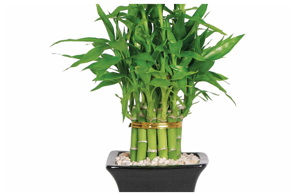 Bamboo-plant-air-purifying-indoor-plant-best-for-oxygen