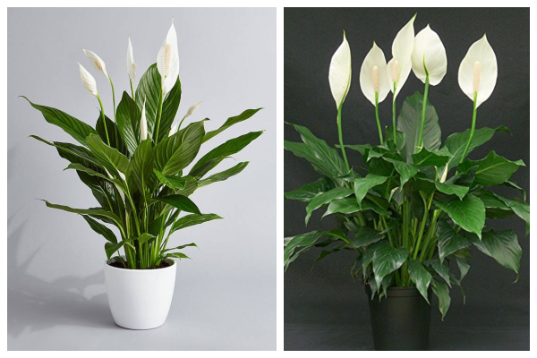 Peace-lily-air-purifying-indoor-plant-best-for-oxygen