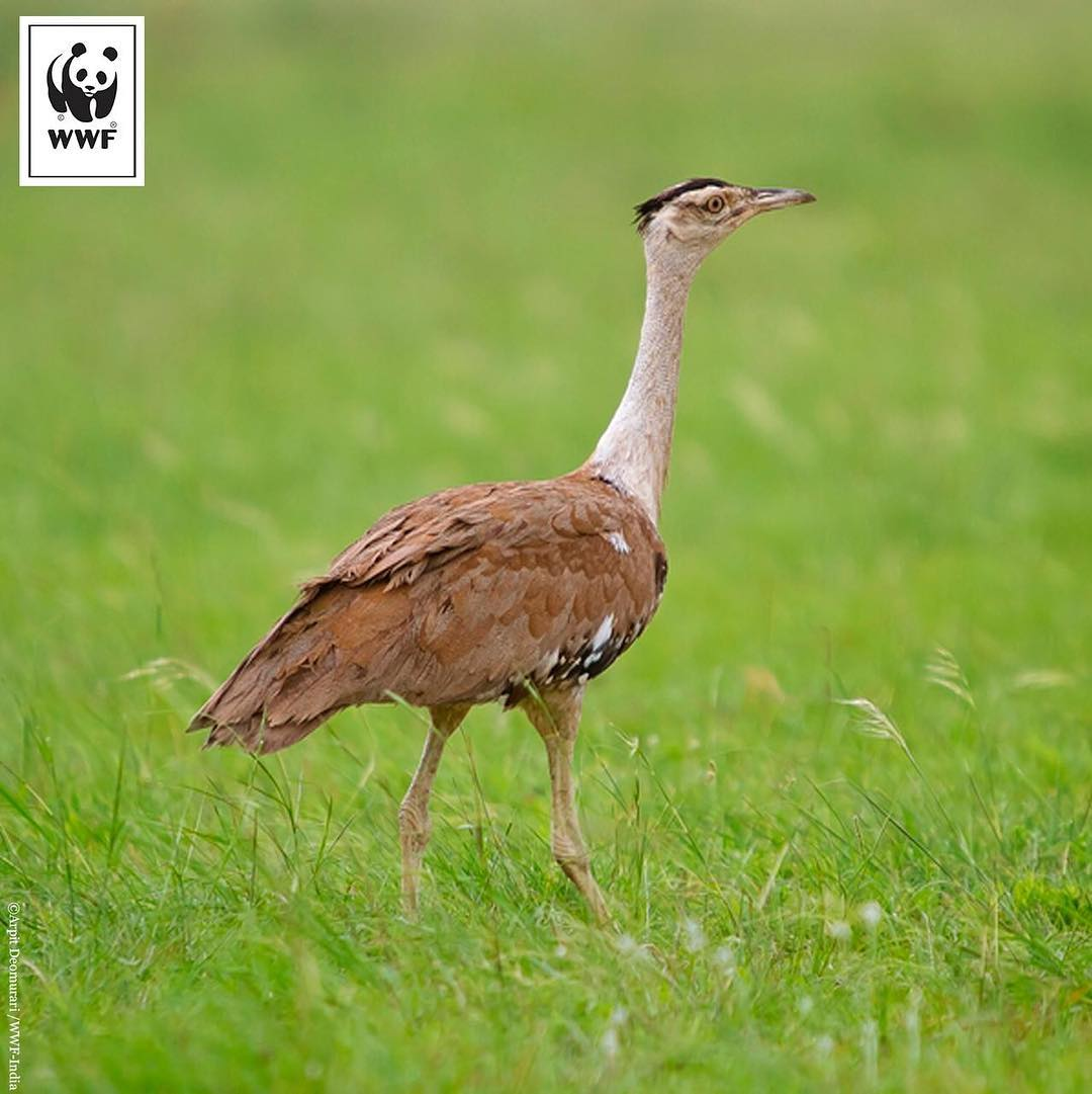 3-great-indian-bustard-conservation-great-indian-bustard