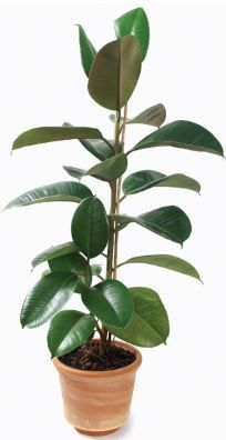 Feng-shui-Plant-rubber-tree