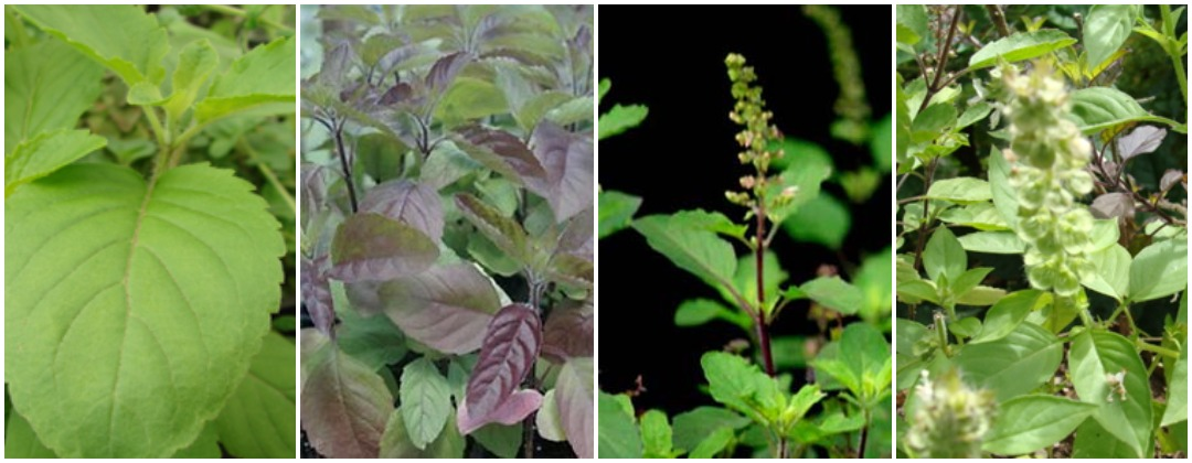 Type of tulsi leaves in hindi