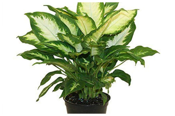 Dumb-Cane-air-purifying-indoor-plant-best-for-oxygen