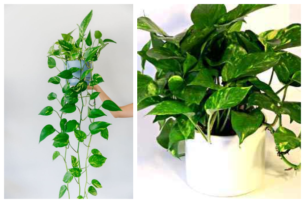 Golden-pothos-palm-air-purifying-indoor-plant-best-for-oxygen