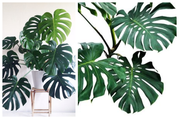 Philodendron-palm-air-purifying-indoor-plant-best-for-oxygen