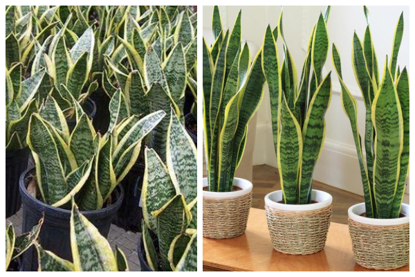 Snake Plant mother-in-law-air-purifying-indoor-plant-best-for-oxygen