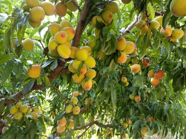 7 family in the hills - peaches at fruit orchards