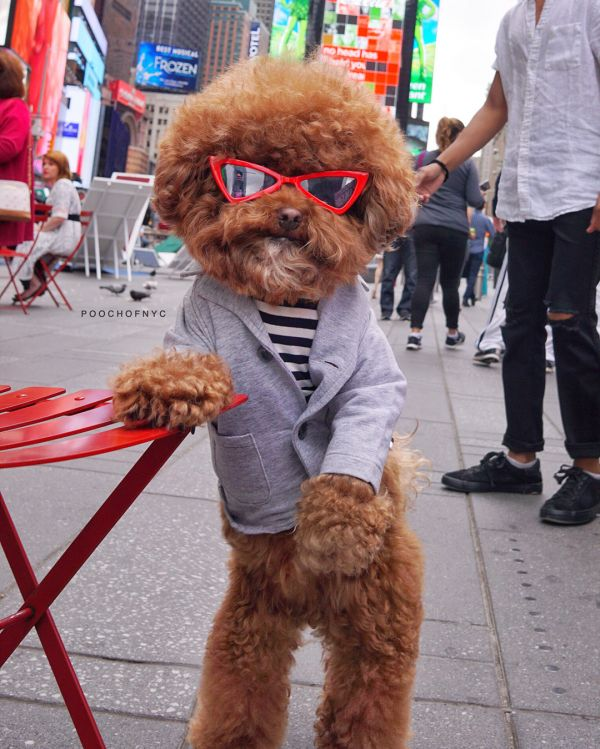 14  poochofnyc fashionable dogs on insta