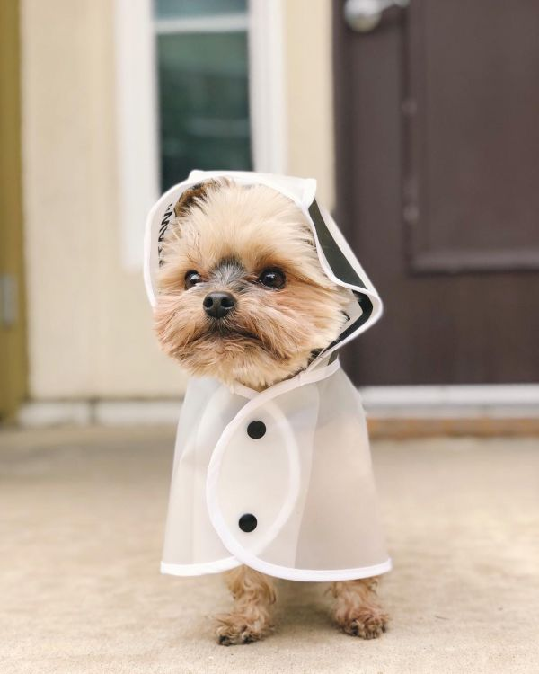 18  duckytheyorkie fashionable dogs on insta