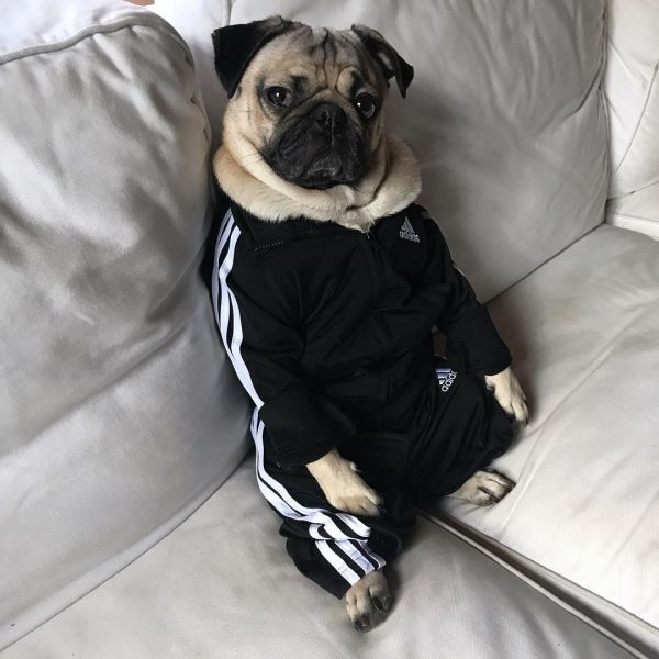 4  itsdougthepug fashionable dogs on insta