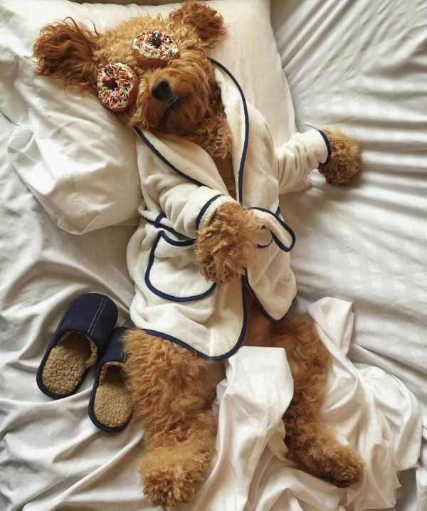9  samsonthedood fashionable dogs on insta