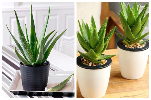 Aloe-vera-air-purifying-indoor-plant-best-for-oxygen
