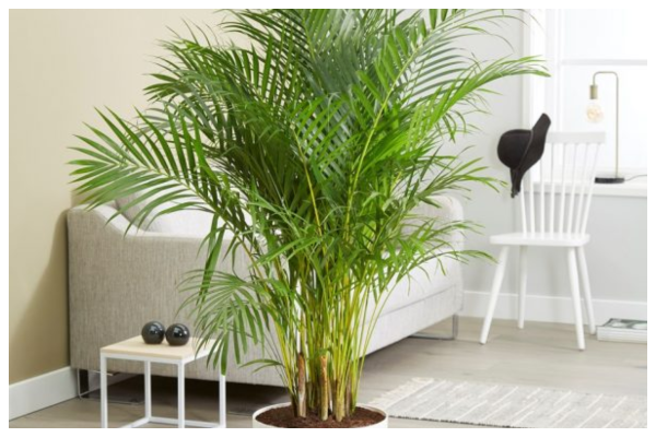 Areca-palm-air-purifying-indoor-plant-best-for-oxygen