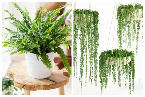 Boston-fern-air-purifying-indoor-plant-best-for-oxygen