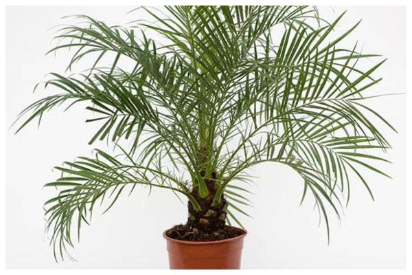 Dwarf-date-palm-air-purifying-indoor-plant-best-for-oxygen