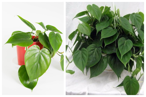 Heart-leaf-air-purifying-indoor-plant-best-for-oxygen