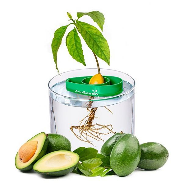 2. Valentine's day gift for boyfriend - Avocado Tree Starter Pack