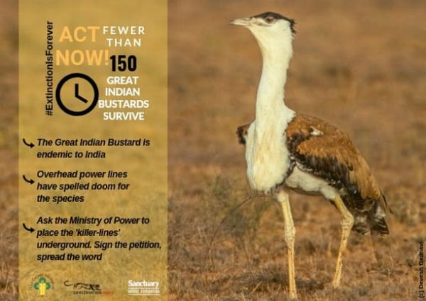 5-great-indian-bustard-conservation-how-you-can-help