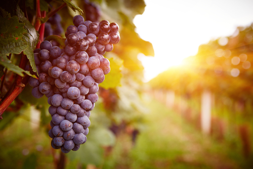 Beauty   Health Benefits Of Grapes For Skin And Hair