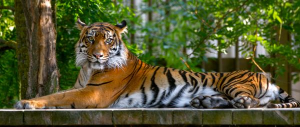 Should We Be Worried About Our Pets? Tiger At NYC's Bronx Zoo Tests Positive For COVID-19
