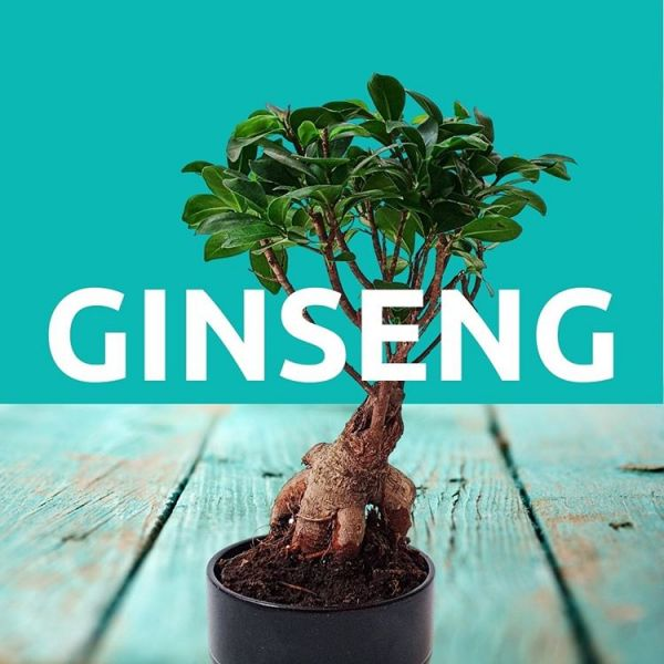 Ginseng plant for skin