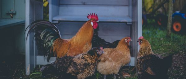 Is It Safe To Eat Chicken? A Doctor Answers All Your Questions On The Avian Flu Outbreak