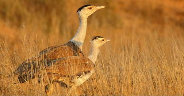 The Great Indian Bustard Is Facing Extinction & It's Time To Do Something About It!