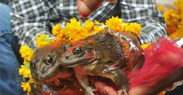 Barso Re Megha: In Today's WTF News, Frogs Get Married In Udupi To Please The Rain Gods!